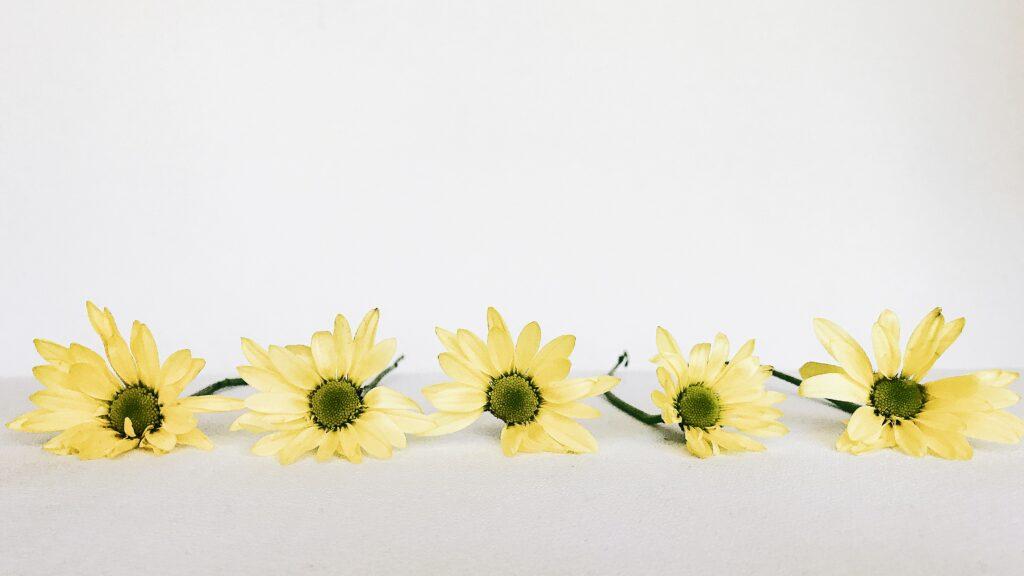 Cinco girasoles sobre un fondo blanco